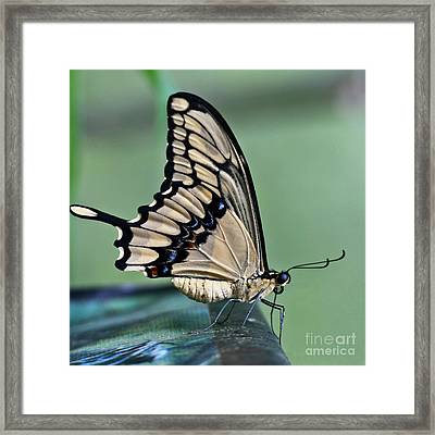 Thoas Swallowtail Butterfly Framed Print by Heiko Koehrer-Wagner