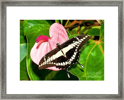 Thoas Swallowtail Butterfly Framed Print by Millard H. Sharp