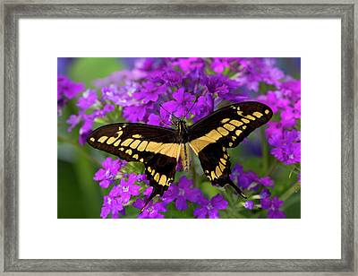 Thoas Swallowtail Butterfly, Papilio Framed Print by Darrell Gulin