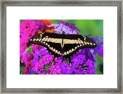 Thoas Swallowtail Butterfly, Papilo Framed Print by Darrell Gulin