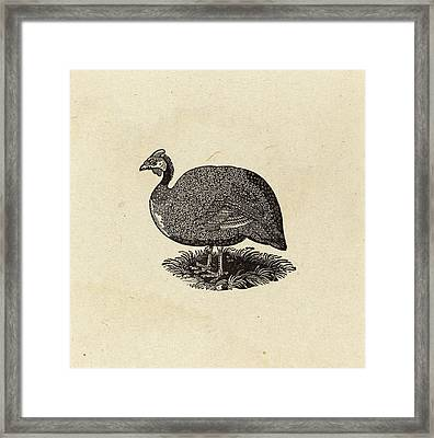 Thomas Bewick British, 1753 - 1828, Guinea Hen Framed Print by Quint Lox