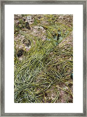 Thongweed (himanthalia Elongata) Framed Print by Bob Gibbons