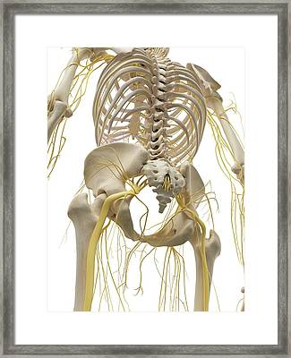Thoracic Bones And Nerves Framed Print by Sciepro
