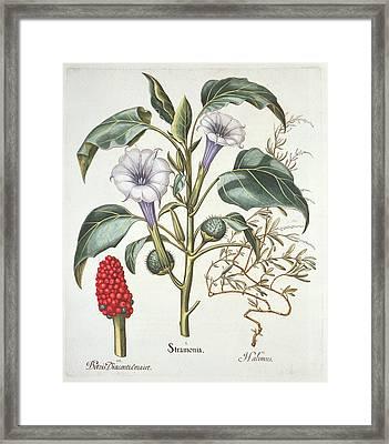 Thorn Apple, From The Hortus Framed Print