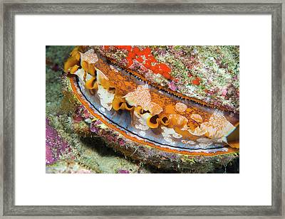 Thorny Oyster On A Reef Framed Print