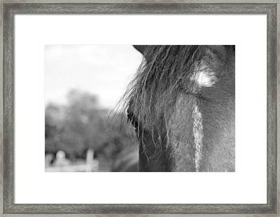 Thoroughbred B/w Framed Print by Jennifer Ancker