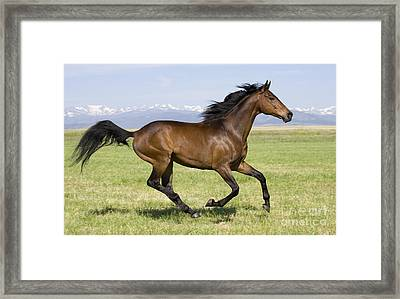 Thoroughbred Runs Framed Print by Carol Walker