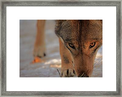 Those Eyes Framed Print by Karol Livote