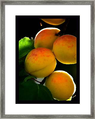 Those Glowing Golden Apricots Framed Print by Susanne Still