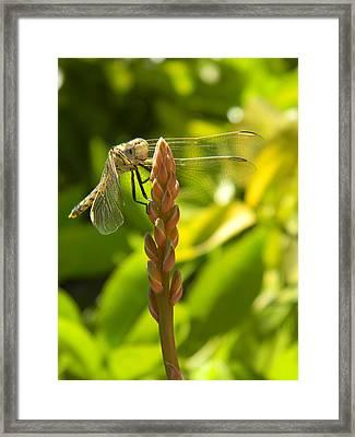 Those Wings Framed Print by Adel Nemeth