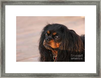 Thoughtful Cavalier Framed Print
