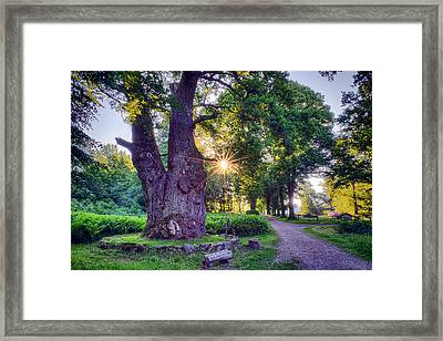 Thousand Year Old Oak In The Morning Sun Framed Print