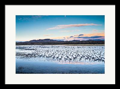 Snow Goose Framed Prints