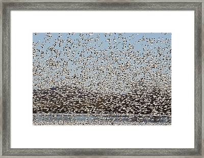 Thousands Of Snow Geese Framed Print by Crystal Wightman
