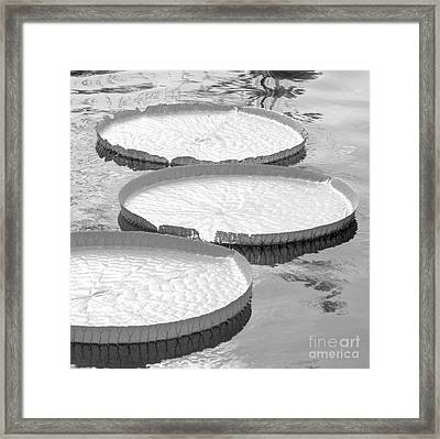 Three Amazonian Water Lily Pads #5 Framed Print