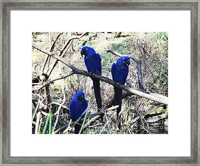 Three Amigo's Framed Print by Kathleen Struckle