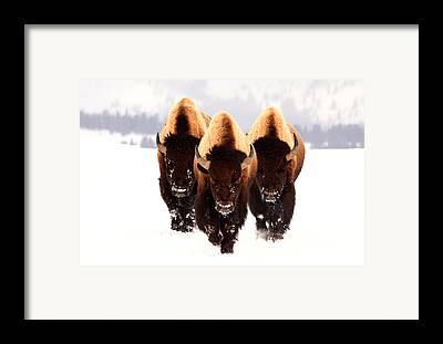 Buffalo Framed Prints