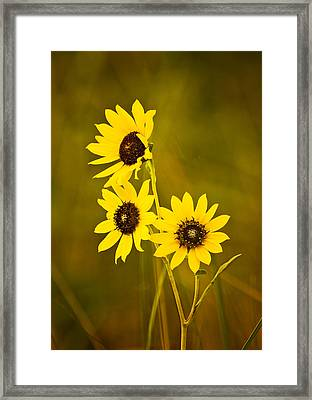 A Trio Of Black Eyed Susans Framed Print by Gary Slawsky