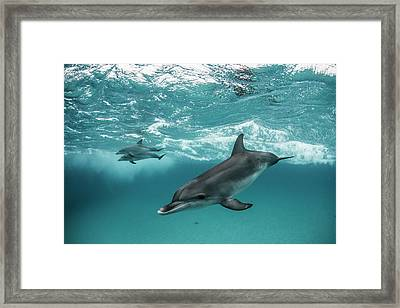 Three Atlantic Spotted Dolphins Framed Print by Rodrigo Friscione