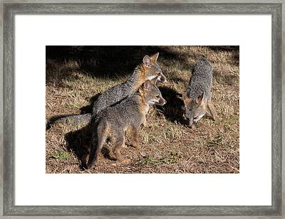 Three Baby Foxes Framed Print by Kathleen Bishop