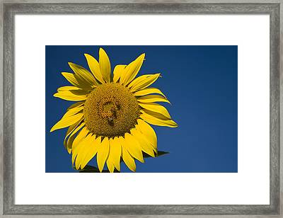 Three Bees And A Sunflower Framed Print by Adam Romanowicz