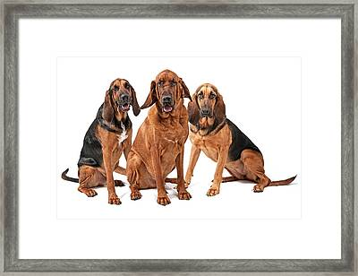 Three Bloodhound Dogs Isolated On White Framed Print by Susan Schmitz