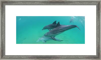 Three Bottle-nosed Dolphins Tursiops Framed Print by Panoramic Images