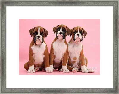 Three Boxer Puppies Framed Print by Mark Taylor