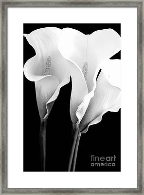 Three Calla Lilies In Black And White Framed Print by Mary Deal