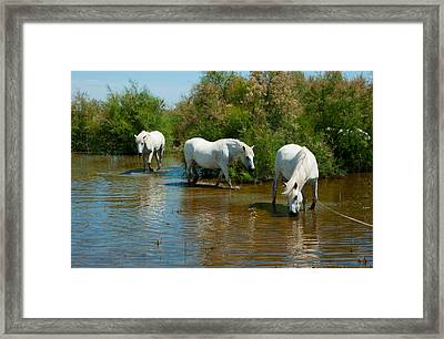 Three Camargue White Horses In A Lagoon Framed Print by Panoramic Images