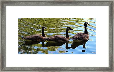 Framed Print featuring the photograph Three Canadian Geese by Deborah Fay