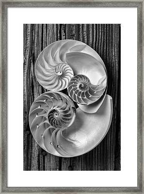 Three Chambered Nautilus In Black And White Framed Print by Garry Gay