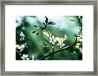 Three Cherry Flowers - Featured 3 Framed Print by Alexander Senin
