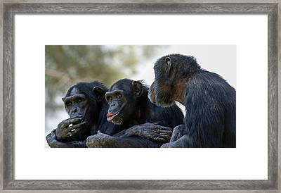 Three Chimpanzees Socializing Framed Print by Photostock-israel
