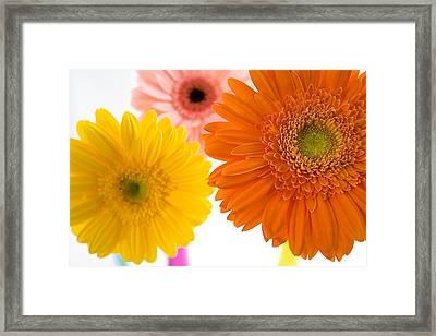Three Colorful Gerbers  Framed Print