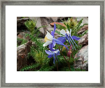 Three Columbine Framed Print