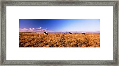 Three Cows Grazing In A Field, Point Framed Print