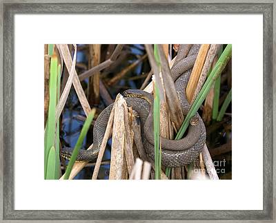 Three Cuddling Snakes Framed Print