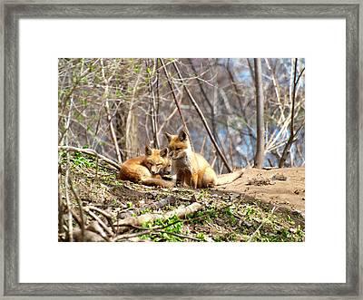 Three Cute Kit Foxes 1 Framed Print