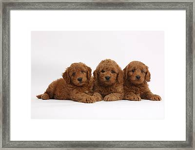 Three Cute Red F1b Goldendoodle Puppies Framed Print