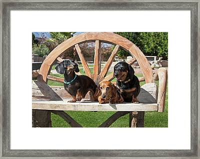 Three Dachshunds Together On A Wooden Framed Print by Zandria Muench Beraldo