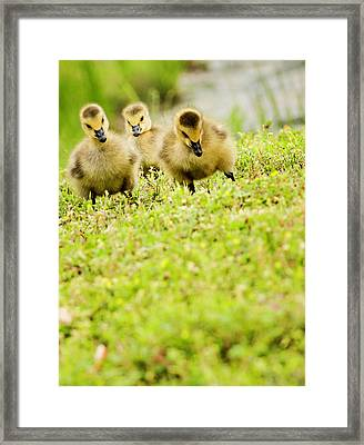 Three Day Old Goslings Framed Print by Catlane