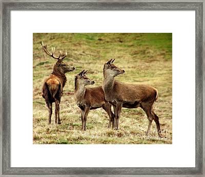 Wildlife Three Red Deer Framed Print by Linsey Williams