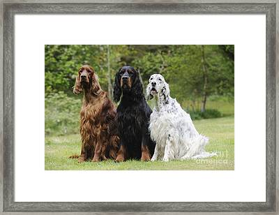 Three Different Setters Framed Print
