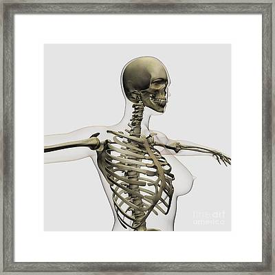 Three Dimensional View Of Female Rib Framed Print by Stocktrek Images