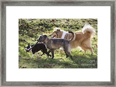 Three Dogs Framed Print by Jean-Michel Labat