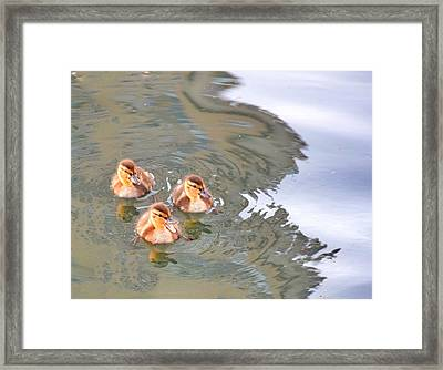 Three Ducklings Swimming In Lake Framed Print by Juliak