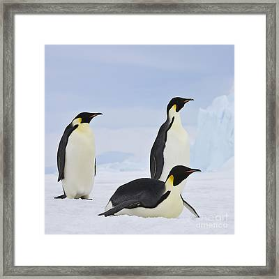 Three Emperor Penguins Framed Print by Jean-Louis Klein and Marie-Luce Hubert