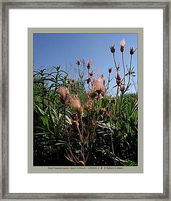 three flowered avens - Geum triflorum - 12MA30-2 Framed Print by Robert G Mears