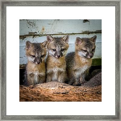 Three Fox Kits Framed Print by Paul Freidlund